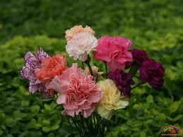 images1 Carnation origin, symbol, flower meaning of different colors. Mandarin Chinese   How to say   On Mothers Day, I am going to buy my mom a bouquet of bright red carnation. The Pink Carnation by Henry Lawson,  Flora´s Secret ENYA